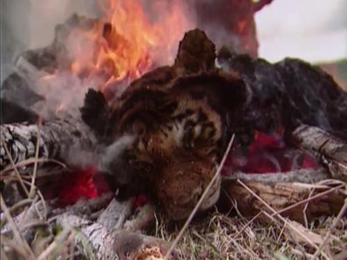 tiger burns final