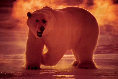 a-polar-bear-hunts-in-40-celsius-paul-nicklen