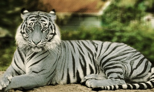 maltese-tigers-2