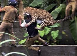 kill leopard